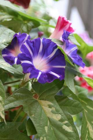 花ギフト フラワーギフト 誕生日 花 カノシェ話題 スタンド花 ウエディングブーケ 花束 花屋 朝顔