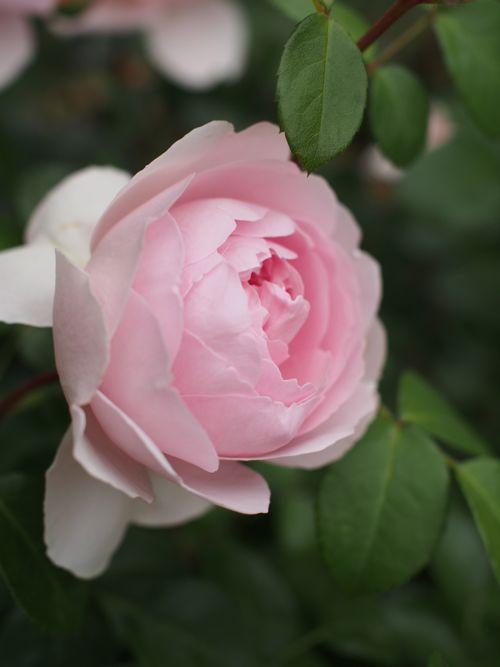 花ギフト|フラワーギフト|誕生日 花|カノシェ話題|スタンド花|ウエディングブーケ|花束|花屋|P1010821
