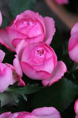 花ギフト|フラワーギフト|誕生日 花|カノシェ話題|スタンド花|ウエディングブーケ|花束|花屋|IMG_9479
