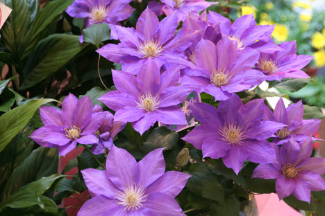 花ギフト|フラワーギフト|誕生日 花|カノシェ話題|スタンド花|ウエディングブーケ|花束|花屋|クレマチス