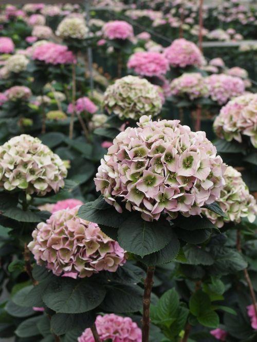 花ギフト|フラワーギフト|誕生日 花|カノシェ話題|スタンド花|ウエディングブーケ|花束|花屋|P6080076