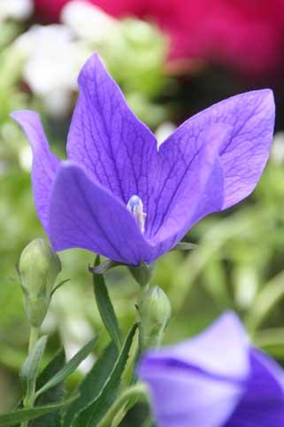 花ギフト|フラワーギフト|誕生日 花|カノシェ話題|スタンド花|ウエディングブーケ|花束|花屋|ききょう