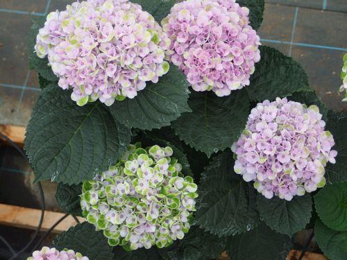花ギフト|フラワーギフト|誕生日 花|カノシェ話題|スタンド花|ウエディングブーケ|花束|花屋|P6080115