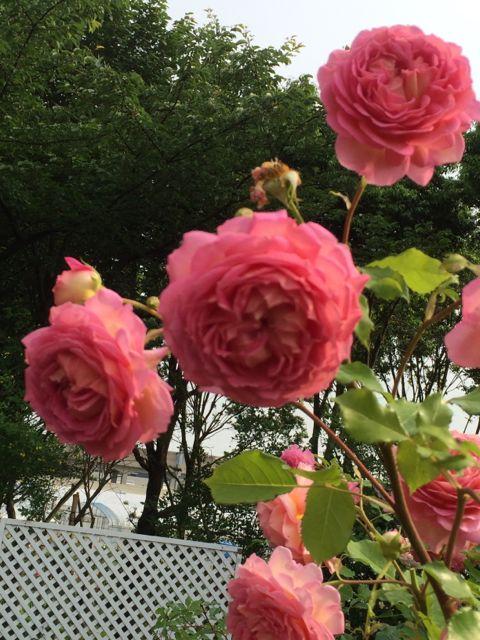 花ギフト|フラワーギフト|誕生日 花|カノシェ話題|スタンド花|ウエディングブーケ|花束|花屋|IMG_1483