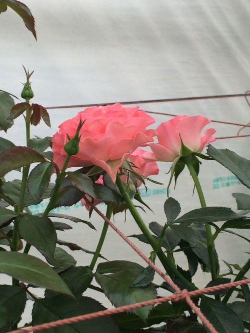 花ギフト|フラワーギフト|誕生日 花|カノシェ話題|スタンド花|ウエディングブーケ|花束|花屋|IMG_4793