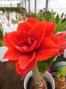 花ギフト|フラワーギフト|誕生日 花|カノシェ話題|スタンド花|ウエディングブーケ|花束|花屋|20130223154811474-225x300