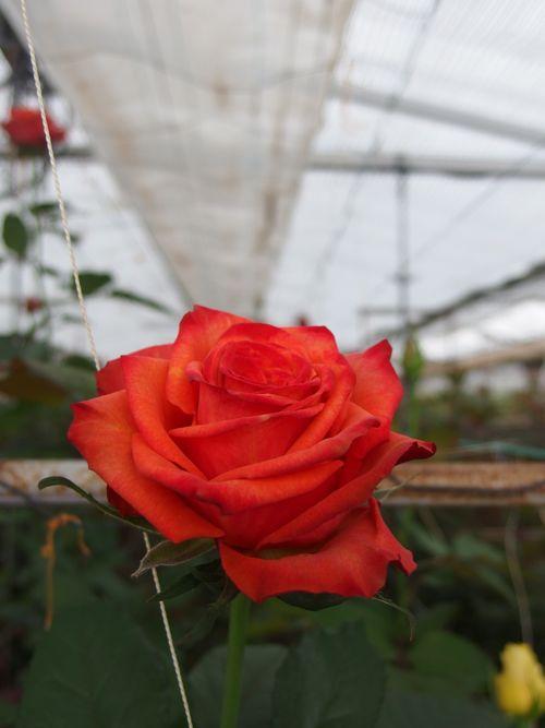 花ギフト|フラワーギフト|誕生日 花|カノシェ話題|スタンド花|ウエディングブーケ|花束|花屋|P6080003
