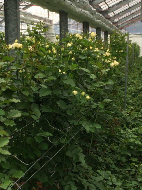 花ギフト|フラワーギフト|誕生日 花|カノシェ話題|スタンド花|ウエディングブーケ|花束|花屋|IMG_7865