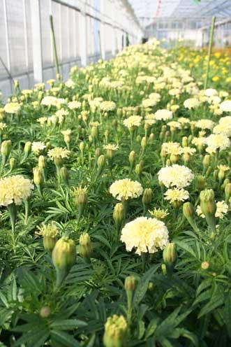 花ギフト|フラワーギフト|誕生日 花|カノシェ話題|スタンド花|ウエディングブーケ|花束|花屋|ヴァニラ