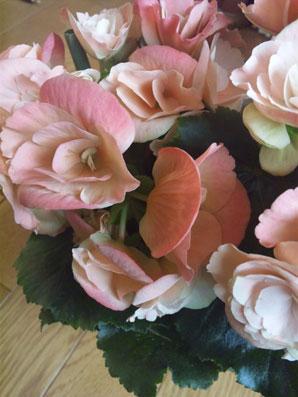花ギフト|フラワーギフト|誕生日 花|カノシェ話題|スタンド花|ウエディングブーケ|花束|花屋|ベゴニア