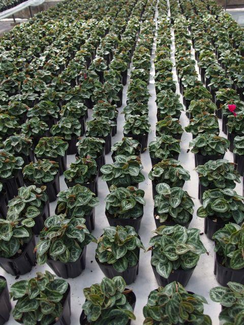 花ギフト|フラワーギフト|誕生日 花|カノシェ話題|スタンド花|ウエディングブーケ|花束|花屋|P8150123