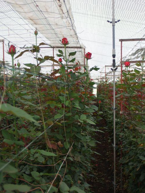 花ギフト|フラワーギフト|誕生日 花|カノシェ話題|スタンド花|ウエディングブーケ|花束|花屋|P6080004