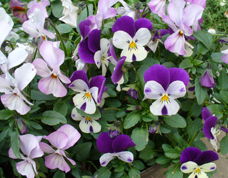 花ギフト|フラワーギフト|誕生日 花|カノシェ話題|スタンド花|ウエディングブーケ|花束|花屋|ビオラ1