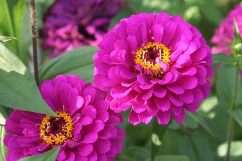 花ギフト|フラワーギフト|誕生日 花|カノシェ話題|スタンド花|ウエディングブーケ|花束|花屋|ジニアピンク