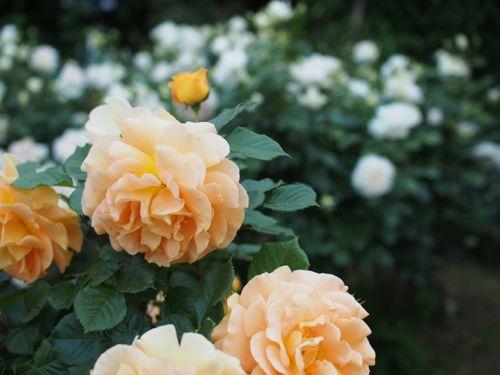花ギフト|フラワーギフト|誕生日 花|カノシェ話題|スタンド花|ウエディングブーケ|花束|花屋|P1010828