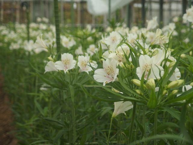 花ギフト|フラワーギフト|誕生日 花|カノシェ話題|スタンド花|ウエディングブーケ|花束|花屋|P8150024