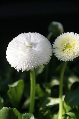 花ギフト|フラワーギフト|誕生日 花|カノシェ話題|スタンド花|ウエディングブーケ|花束|花屋|デージー