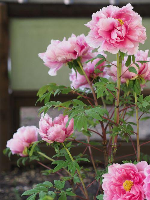 花ギフト|フラワーギフト|誕生日 花|カノシェ話題|スタンド花|ウエディングブーケ|花束|花屋|P1010624