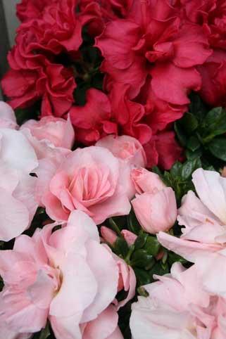 花ギフト|フラワーギフト|誕生日 花|カノシェ話題|スタンド花|ウエディングブーケ|花束|花屋|アザレア