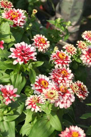 花ギフト|フラワーギフト|誕生日 花|カノシェ話題|スタンド花|ウエディングブーケ|花束|花屋|ジニア 新