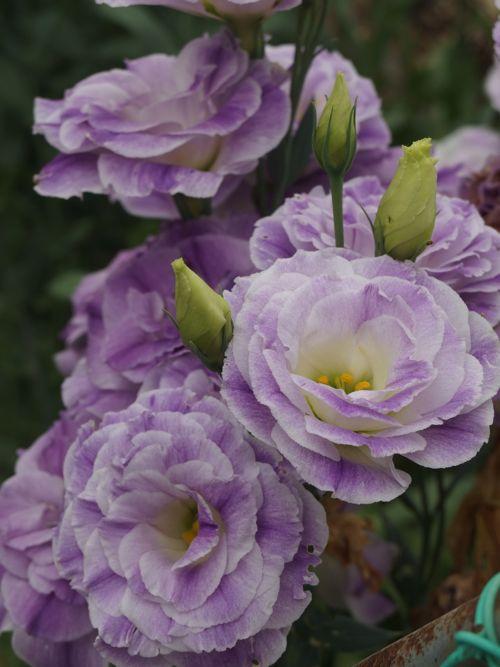 花ギフト|フラワーギフト|誕生日 花|カノシェ話題|スタンド花|ウエディングブーケ|花束|花屋|P6080039