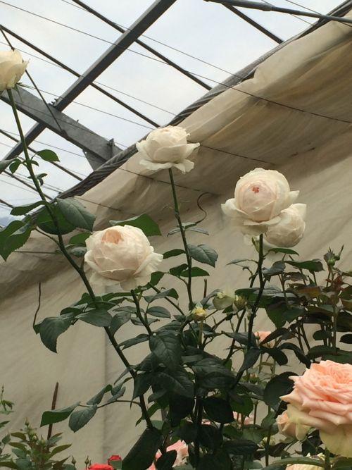 花ギフト|フラワーギフト|誕生日 花|カノシェ話題|スタンド花|ウエディングブーケ|花束|花屋|IMG_4809