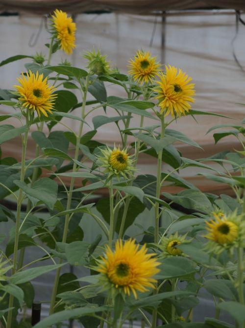 花ギフト|フラワーギフト|誕生日 花|カノシェ話題|スタンド花|ウエディングブーケ|花束|花屋|P8150148