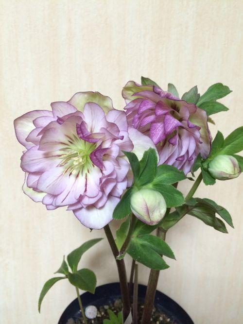 花ギフト|フラワーギフト|誕生日 花|カノシェ話題|スタンド花|ウエディングブーケ|花束|花屋|IMG_9557