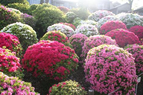 花ギフト|フラワーギフト|誕生日 花|カノシェ話題|スタンド花|ウエディングブーケ|花束|花屋|つつじ2