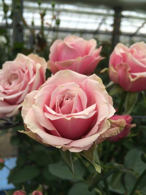 花ギフト|フラワーギフト|誕生日 花|カノシェ話題|スタンド花|ウエディングブーケ|花束|花屋|IMG_7862