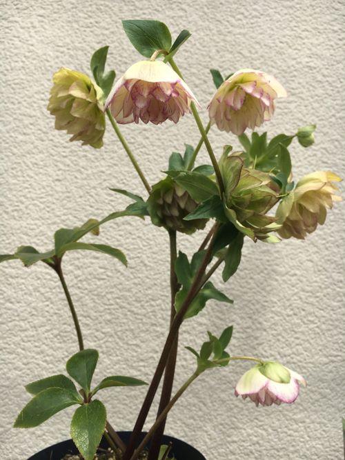花ギフト|フラワーギフト|誕生日 花|カノシェ話題|スタンド花|ウエディングブーケ|花束|花屋|IMG_0123