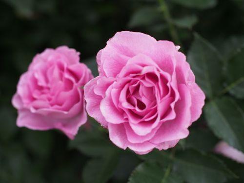 花ギフト|フラワーギフト|誕生日 花|カノシェ話題|スタンド花|ウエディングブーケ|花束|花屋|P1010864