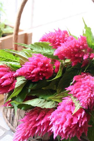 花ギフト|フラワーギフト|誕生日 花|カノシェ話題|スタンド花|ウエディングブーケ|花束|花屋|ピンクけいとう