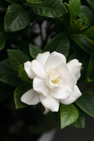 花ギフト|フラワーギフト|誕生日 花|カノシェ話題|スタンド花|ウエディングブーケ|花束|花屋|くちなし