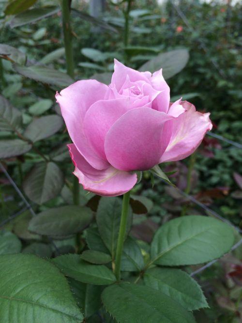 花ギフト|フラワーギフト|誕生日 花|カノシェ話題|スタンド花|ウエディングブーケ|花束|花屋|IMG_7855