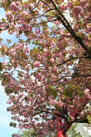 花ギフト|フラワーギフト|誕生日 花|カノシェ話題|スタンド花|ウエディングブーケ|花束|花屋|八重桜