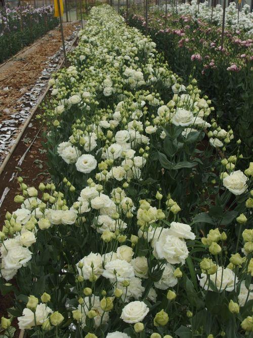 花ギフト|フラワーギフト|誕生日 花|カノシェ話題|スタンド花|ウエディングブーケ|花束|花屋|P6080043
