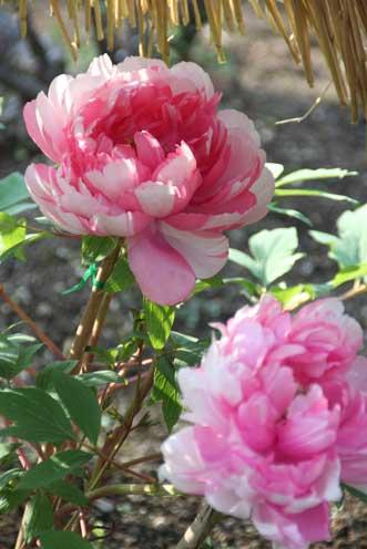 花ギフト|フラワーギフト|誕生日 花|カノシェ話題|スタンド花|ウエディングブーケ|花束|花屋|ぼたん2