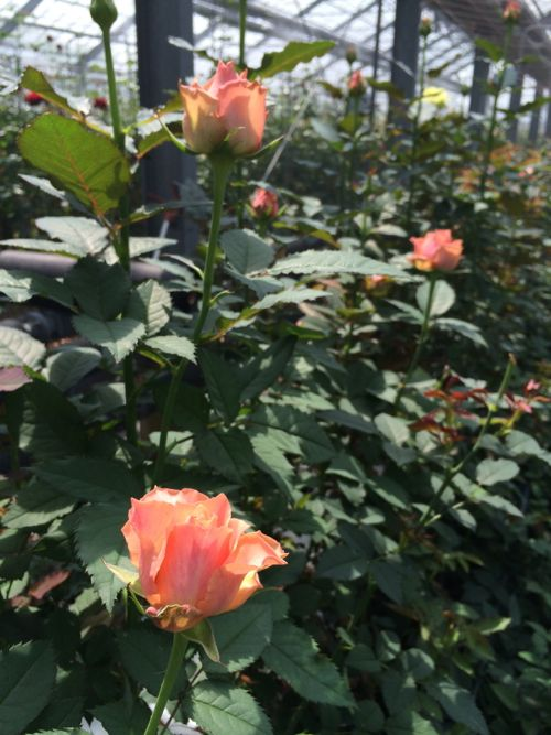 花ギフト|フラワーギフト|誕生日 花|カノシェ話題|スタンド花|ウエディングブーケ|花束|花屋|IMG_7836
