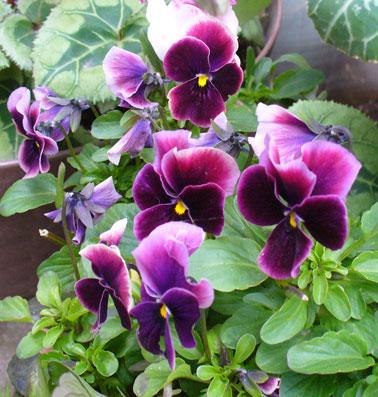 花ギフト|フラワーギフト|誕生日 花|カノシェ話題|スタンド花|ウエディングブーケ|花束|花屋|ビオラ