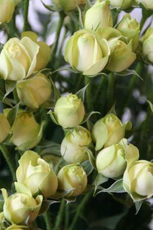 花ギフト|フラワーギフト|誕生日 花|カノシェ話題|スタンド花|ウエディングブーケ|花束|花屋|クリーミーエデン