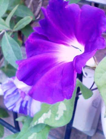 花ギフト|フラワーギフト|誕生日 花|カノシェ話題|スタンド花|ウエディングブーケ|花束|花屋|朝顔