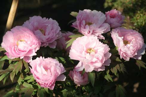 花ギフト|フラワーギフト|誕生日 花|カノシェ話題|スタンド花|ウエディングブーケ|花束|花屋|ぼたん並んで