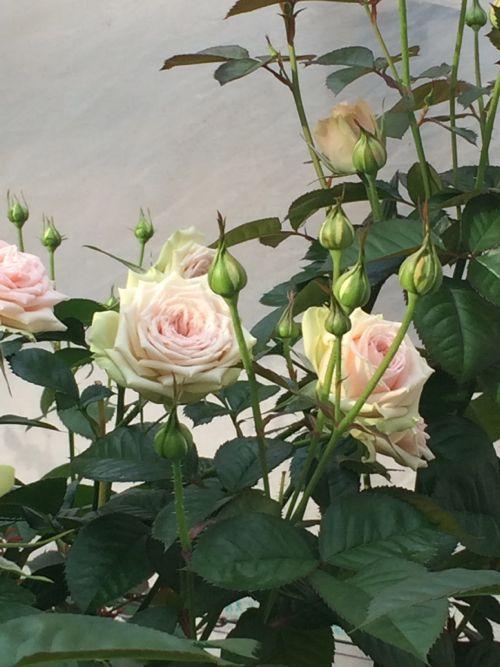 花ギフト|フラワーギフト|誕生日 花|カノシェ話題|スタンド花|ウエディングブーケ|花束|花屋|IMG_4807