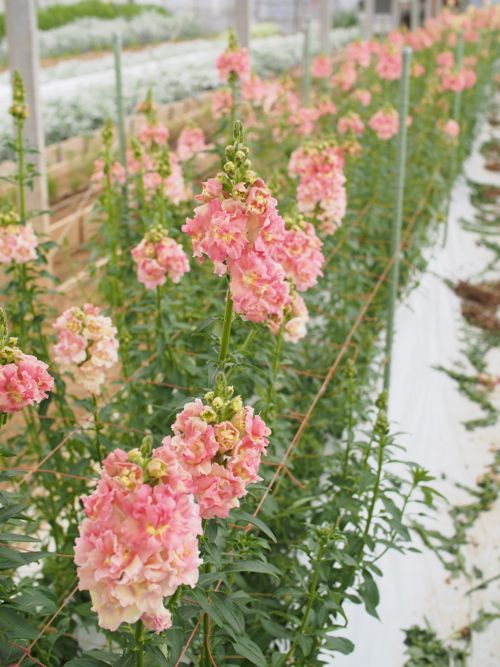 花ギフト|フラワーギフト|誕生日 花|カノシェ話題|スタンド花|ウエディングブーケ|花束|花屋|P1010131