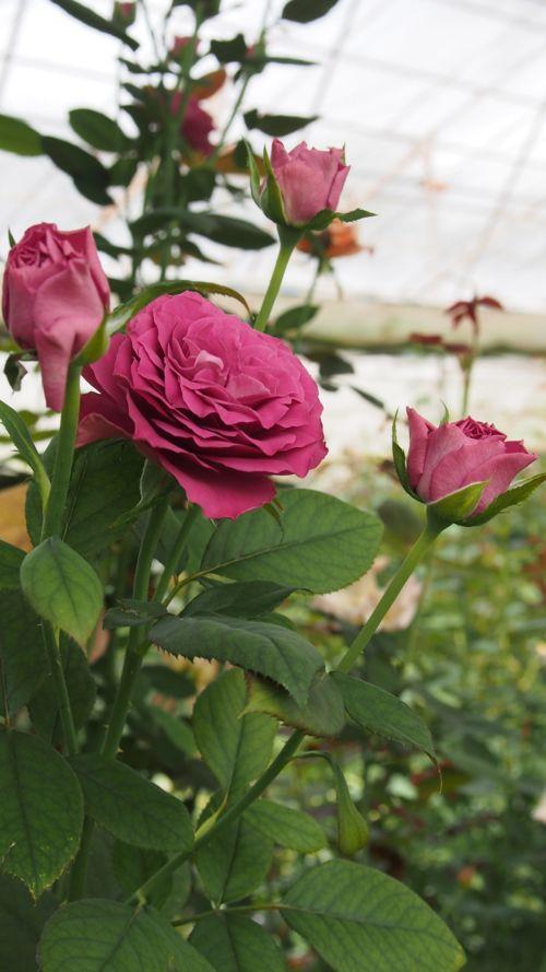 花ギフト|フラワーギフト|誕生日 花|カノシェ話題|スタンド花|ウエディングブーケ|花束|花屋|P1011121