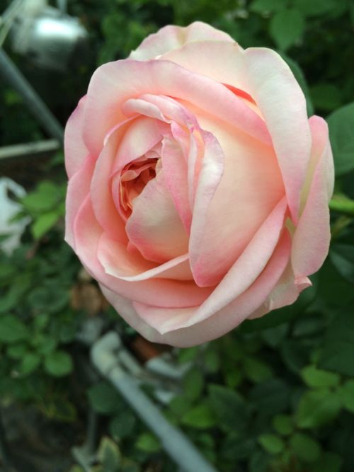 花ギフト|フラワーギフト|誕生日 花|カノシェ話題|スタンド花|ウエディングブーケ|花束|花屋|IMG_7873