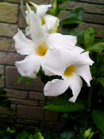 花ギフト|フラワーギフト|誕生日 花|カノシェ話題|スタンド花|ウエディングブーケ|花束|花屋|デプラデニア白