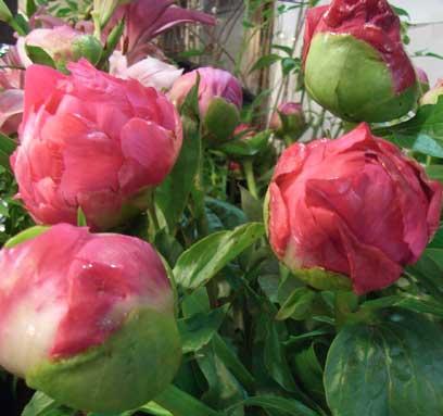 花ギフト|フラワーギフト|誕生日 花|カノシェ話題|スタンド花|ウエディングブーケ|花束|花屋|芍薬2