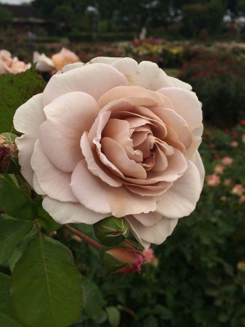 花ギフト|フラワーギフト|誕生日 花|カノシェ話題|スタンド花|ウエディングブーケ|花束|花屋|IMG_5204